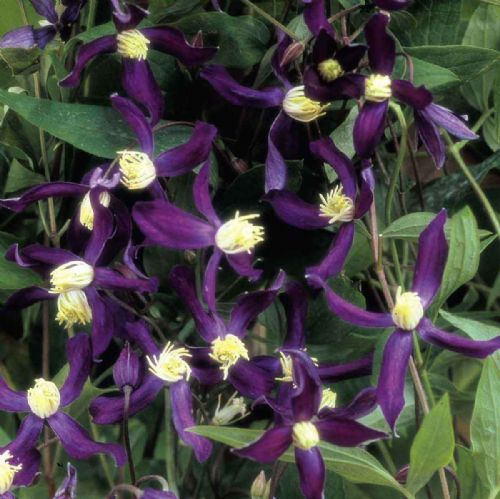Clematis PRETTY IN BLUE 'Zopre'